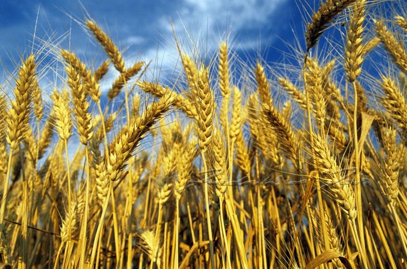 Beni confiscati alla mafia: attacco a Libera, bruciano 12 ettari di grano.