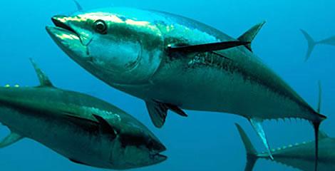 Divieto anticipato della pesca del tonno rosso e risarcimento a favore dei pescatori.