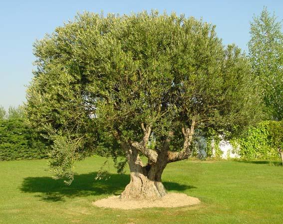 Xylella fastidiosa: rimozione immediata delle piante in un raggio di 100 metri attorno alle piante infette.
